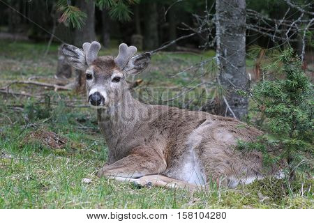 A White-tailed deer buck with velvety antlers takes a rest.