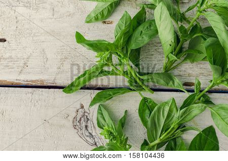 Basil background. Large green aromatic Mediterranean basil leaves on white wooden background with place for text. Bunch fresh basil on a wooden background. Aromatic spice. Copy space.