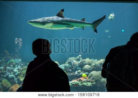 MUNICH, GERMANY - JUNE 13, 2016: Visitors looking as the blacktip reef shark (Carcharhinus melanopterus) swims at Hellabrunn Zoo in Munich, Bavaria, Germany.