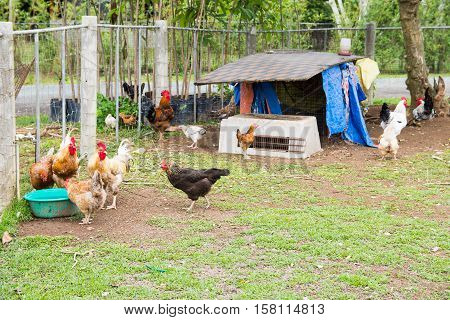 a horde of wild chickens in a chicken coop