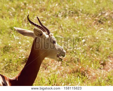 An antelope eating some of the green grass.