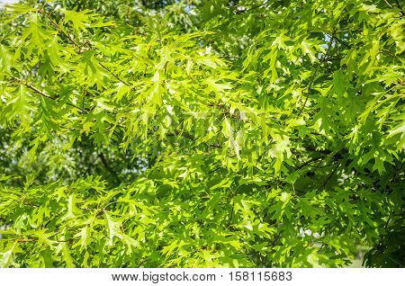 Pin oak or swamp Spanish oak (Quercus palustris). Swamp oak (Quercus palustris). Leaf close up in Sunny summer weather