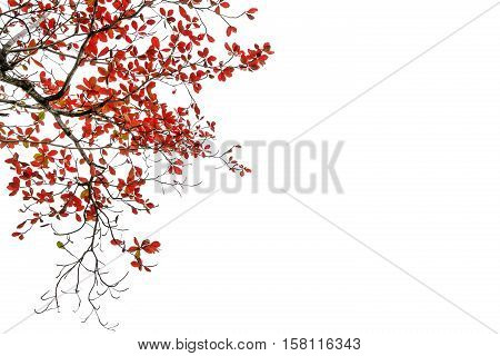 red and orange leaves tree in autumn isolated on white background