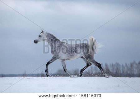 Arabian grey horse on winter stormy background.