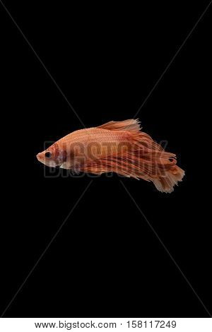 moving moment of orange siamese fighting fish isolated on black background