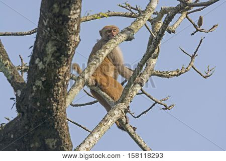 Rhesus Monkey high in a Tree in Karizanga National Park in India