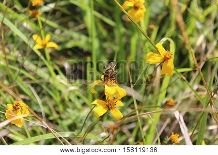 Bee posing on a yellow flower in San Cristobal de las Casas, Chiapas. Mexico