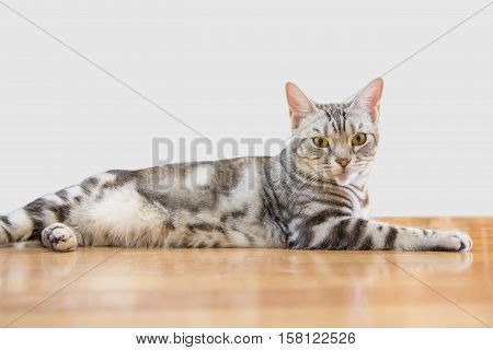 The lovely American shorthair cat on the floor