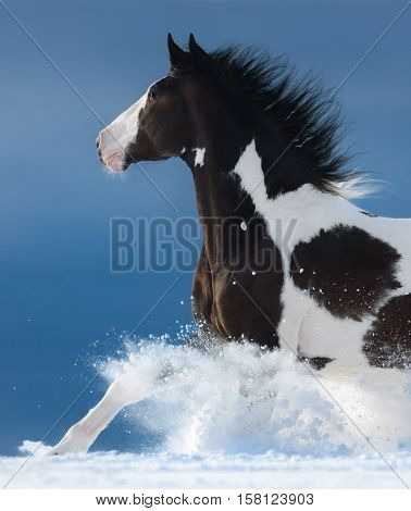 Pinto horse gallops across a winter snowy field. Side view. Close up.