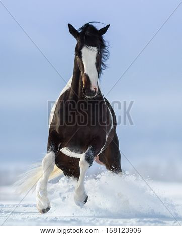 Pinto horse on snowfield. Front view.