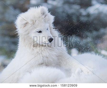 White puppy of Samoyed dog. Monochromatic wintertime horizontal outdoors image.