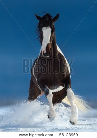 Beautiful American Paint horse running trought the snow in winter.  Front view.