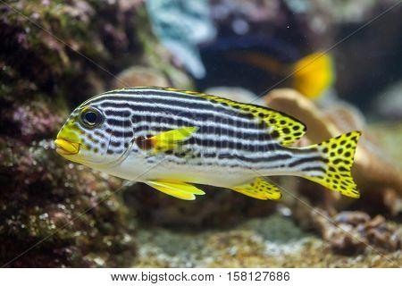 Yellow-banded sweetlips (Plectorhinchus lineatus). Marine fish.