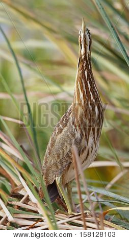 American Bittern Hiding In A Cattail Marsh - Florida