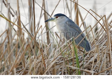 Black-crowned Night Heron Stalking Its Prey - Florida