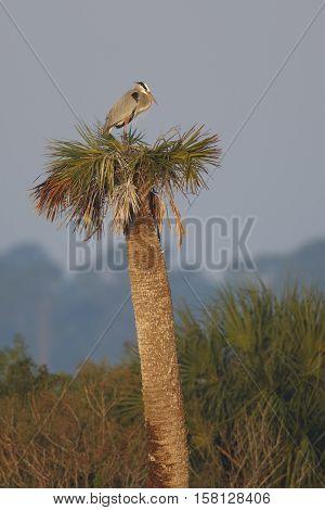 Great Blue Heron Nesting On A Palm Tree - Florida