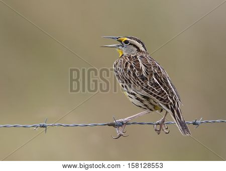 Eastern Meadowlark Perched On A Wire Fence - Florida