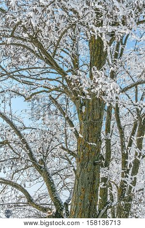 Old locust tree in the white winter hoarfrost on a background blue sky close-up