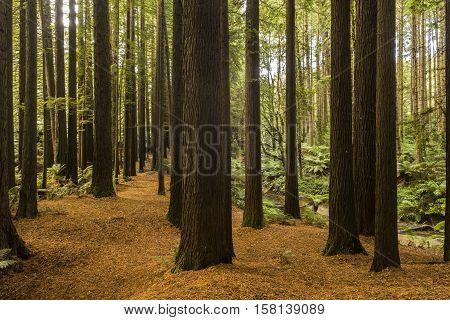 Californian Redwoods (Sequoia Tree) on the Great Ocean Road, Victoria, Australia.