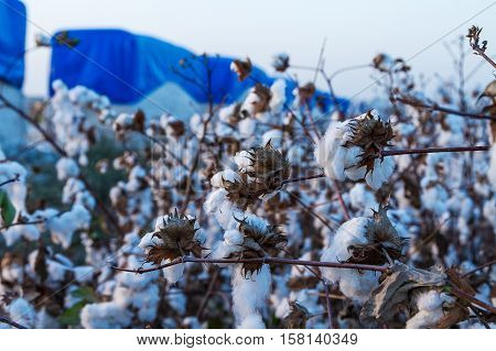 Cotton balls on the plant ready to be harvested Israel .