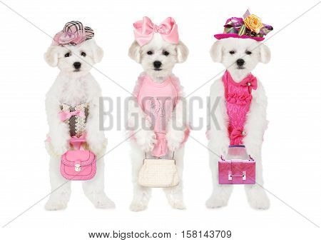 Humorous photo of three Bichon Frise puppies in hats with bags isolated on white background