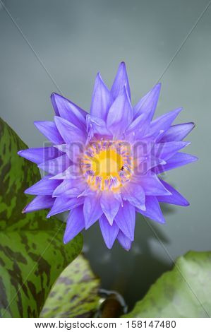 close up blue lotus flower in nature garden