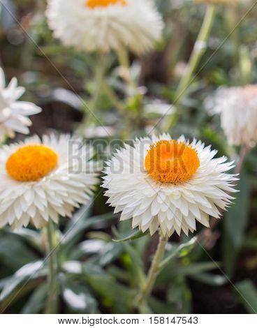 fresh helichrysum flower on a sunny day