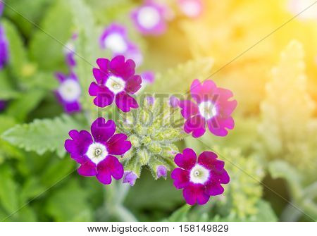 Julia primrose Primula juliae beautiful spring flowers with sunshine.