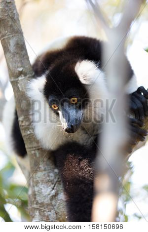 Black-and-white Ruffed Lemur (varecia Variegata Subcincta)