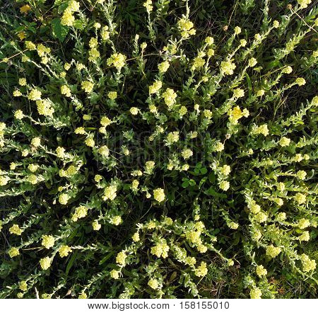 A lot of flowering plants of helichrysum arenarium immortelle top view