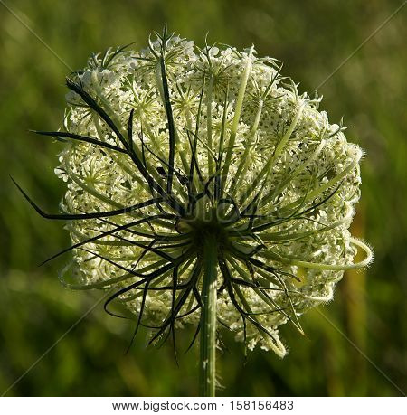 Inflorescence of white flowers of umbrella plant on a spring meadow