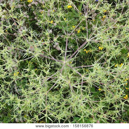 Field eryngo (Eryngium campestre) flowers texture as background