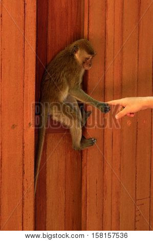 a young macaca monkey hanging on a wooden wall and holds finger or part of hand. Contact betwen animal and human.