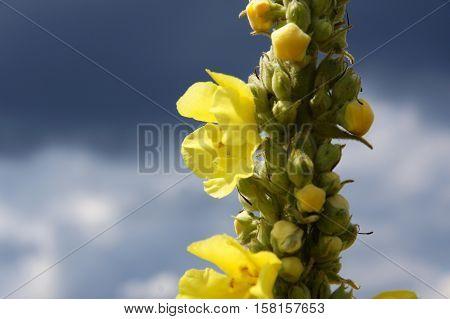 Black mullein or Dark mullein (Verbascum nigrum) inflorescence on a background of the sky