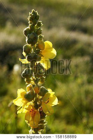 Black mullein or Dark mullein (Verbascum nigrum) inflorescence in the evening light