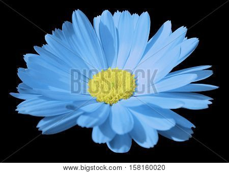turquise flower calendula. the black isolated background with clipping path. Closeup. no shadows. light yellow center. Nature.