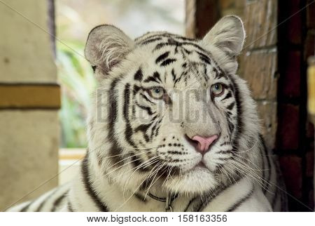 baby white tiger with yellow eyes close-up portrait