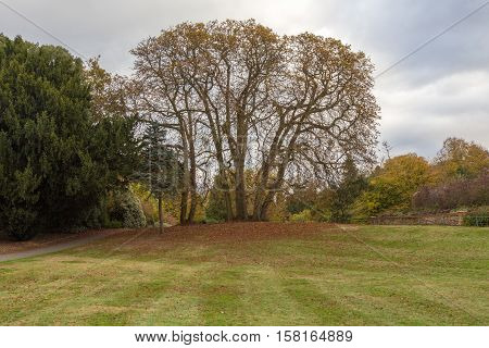 Large bare autumn tree with newly cut grass in the foreground