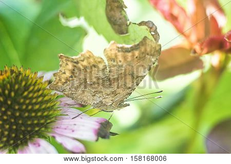 Closeup butterfly on eastern purple coneflower mimicry on the leaf litter, flying migratory insect butterflies that represents summer and the beauty of nature