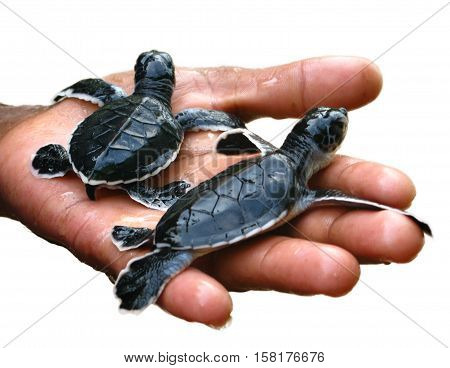 Newborn sea turtles in the hands of staff, on white  background, Ceylon, Sri Lanka, isolated