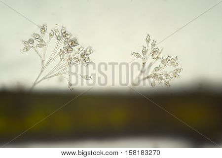 Ciliophora Ciliata Vorticella convallaria colonia in freshwater. Microorganisms by microscope