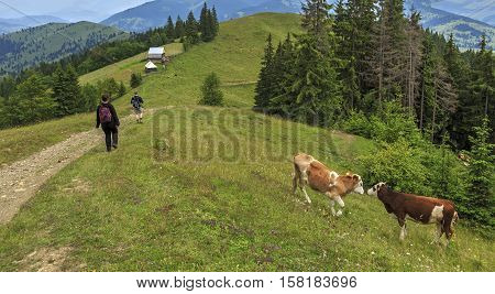 Turists and cows on the hill in Transylvania