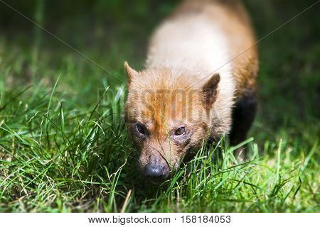 The bush dog (Speothos venaticus). Canid found in Central and South America