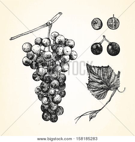 Hand drawn illustration of Grapes. Vector illustration.