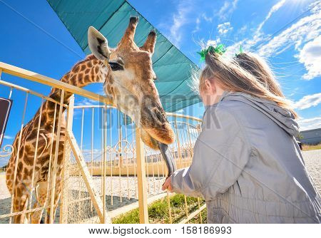 Young  funny giraffe and beautiful little girl at the zoo. Little girl feeding a giraffe at the zoo at the day time. Child, cute giraffe and bright blue sky in wild animals zoo park.