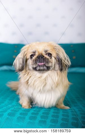 beautiful pekingese on soft sofa knitting a blue blanket