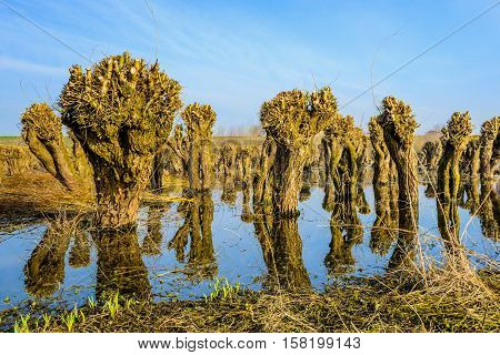 Pollarded old and irregularly shaped willow trees reflected in the mirror-smooth surface of a flooded nature reserve. It is a sunny day at the end of the winter season.
