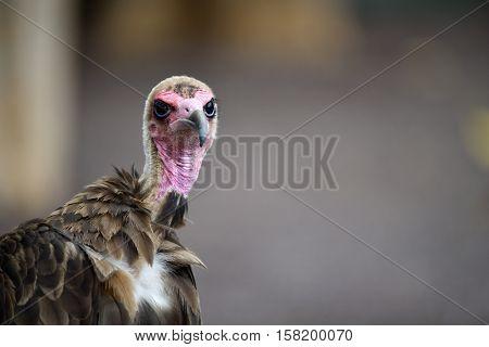 Portrait of a Hooded Vulture (Necrosyrtes monachus)