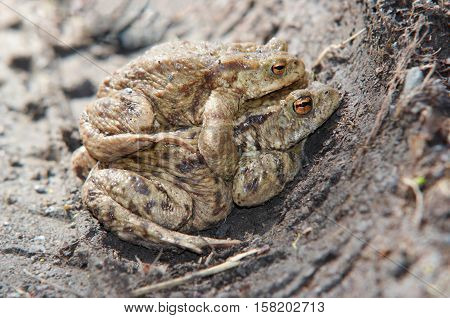 Detail of the mating toads - reproduction