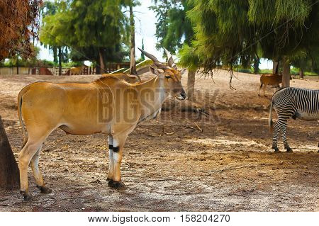 antelope in nature standing under a tree. horned animal looks into the camera. kudu antelope